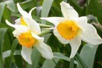 درمان افسردگی با گل نرگس